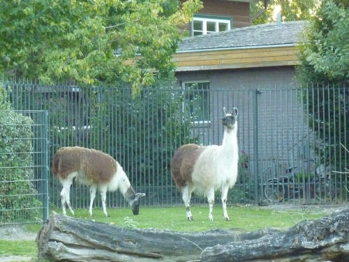Llamas at  Berlin Zoo